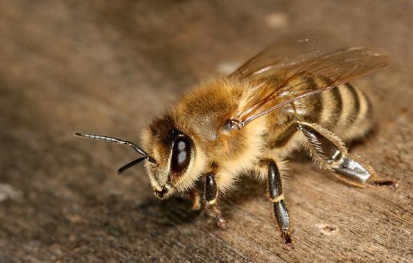 Картинка глаза, макро, пчела, крылья, лапки, насекомое, усики