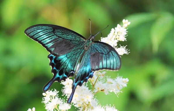 Картинка цветок, лето, бабочка, парусник, махаон