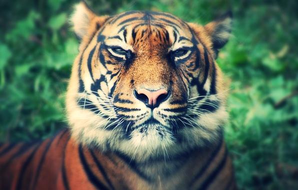 Картинка кошка, глаза, усы, взгляд, тигр, фон, хищник