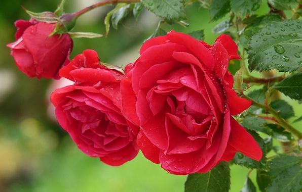 Картинка листья, вода, капли, цветы, роса, роза, куст, лепестки