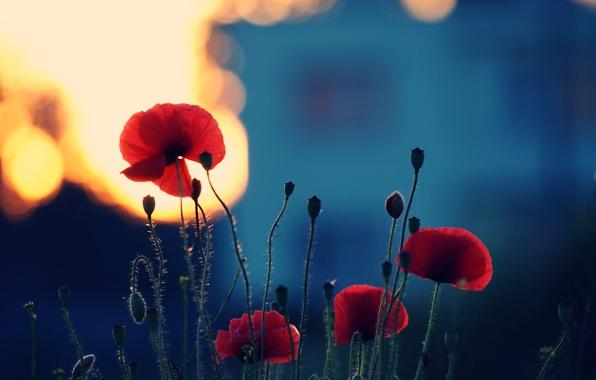Картинка лето, свет, закат, цветы, природа, стебли, цвет, маки, растения, вечер, лепестки, цветение