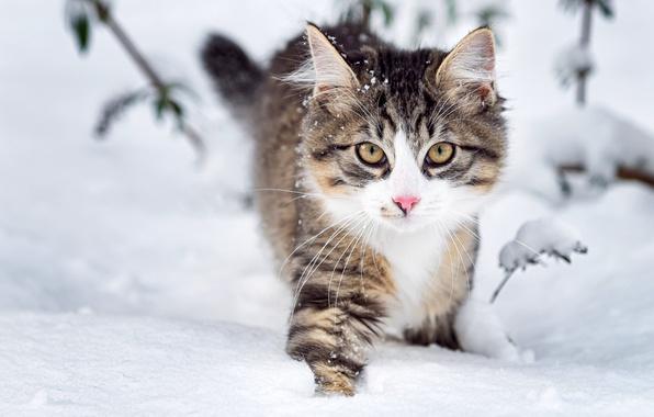 Картинка зима, взгляд, снег, природа, Кошка, мордочка, пушистая