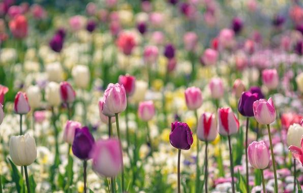 Картинка парк, краски, весна, лепестки, сад, луг, тюльпаны