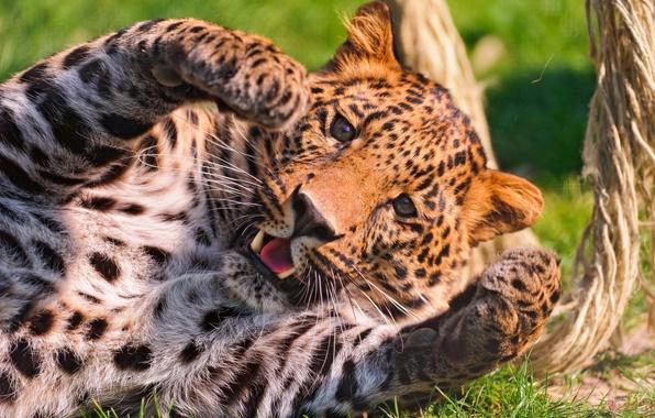 Картинка морда, лапы, леопард, играет, пятнистый
