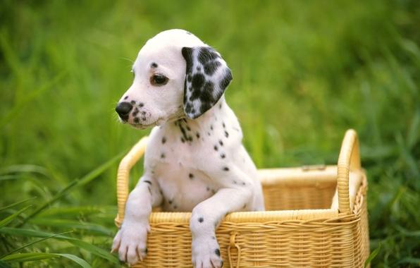 Картинка трава, собака, щенок, далматинец, dog, dalmatian