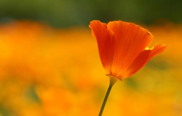 Картинка поле, цветок, лето, макро, оранжевый, красный, яркий, тепло, поляна, цвет, мак, лепестки, алый