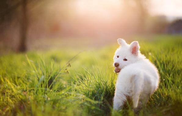 Картинка лето, трава, собака, Щенок, белая