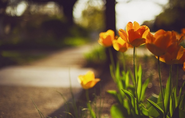 Картинка цветы, улица, весна, тюльпаны