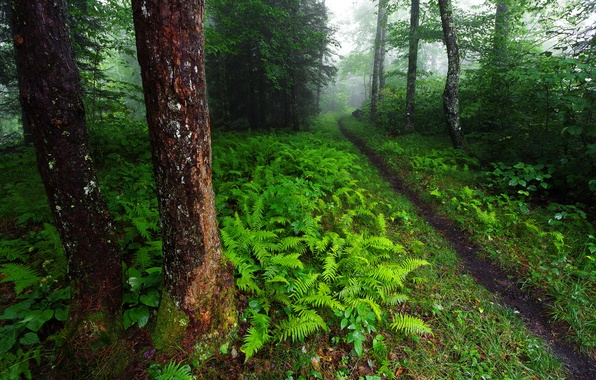 Картинка зелень, лес, деревья, природа, США, папоротник, тропинка, кусты, Северная Каролина