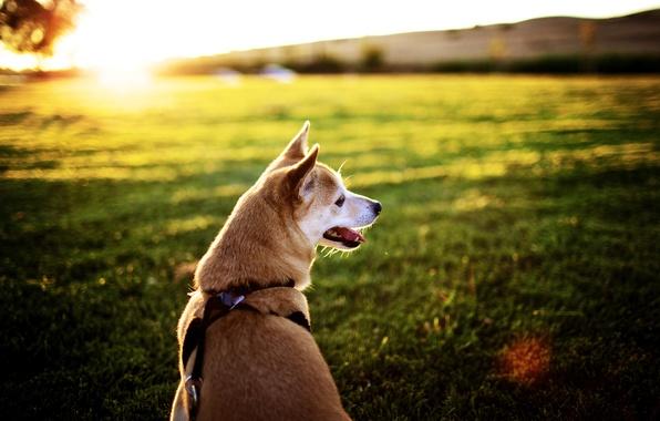 Картинка поле, язык, солнце, лучи, закат, фон, обои, картинки, собака, мордочка, ошейник