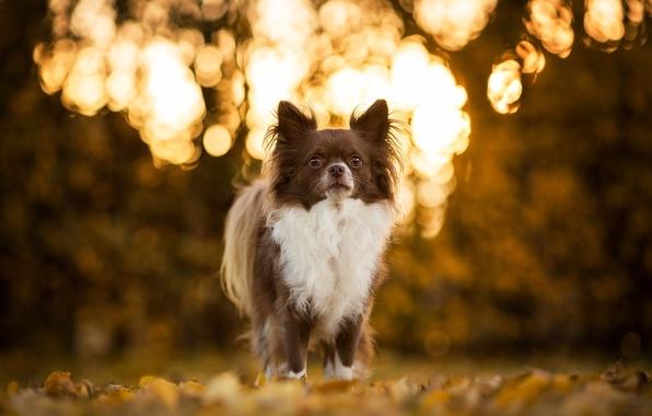 Картинка собака, чихуахуа, боке, пёсик
