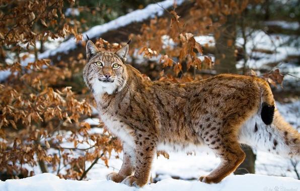 Картинка зима, снег, поза, хищник, грация, рысь, дикая кошка, сухая листва