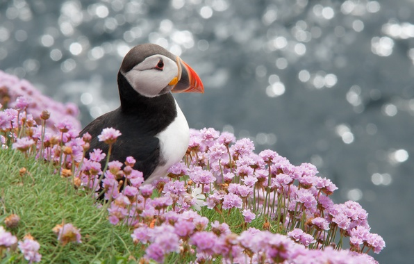 Картинка цветы, блики, птица, профиль, puffin, атлантический, Тупик