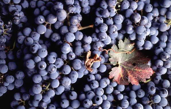 Картинка лист, ягоды, текстура, виноград