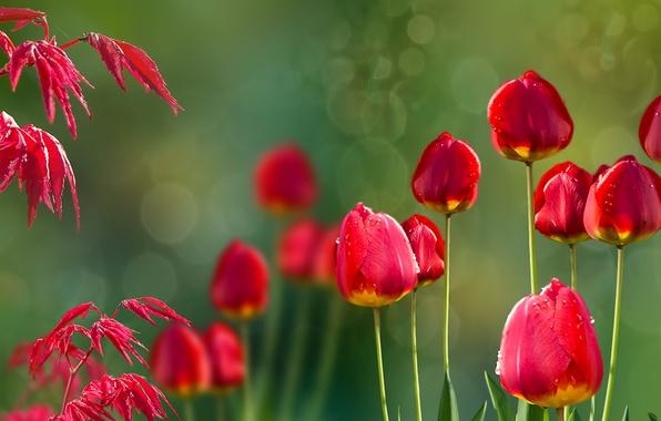 Картинка природа, tulips, Acer