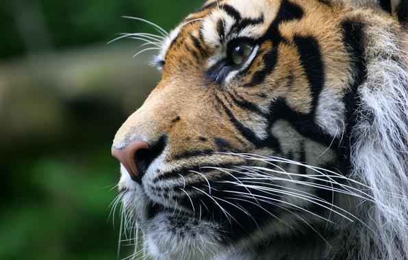 Картинка взгляд, морда, тигр, животное, хищник