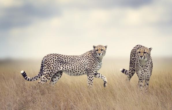 Картинка поле, трава, хищники, пара, дымка, двое, боке, гепарды