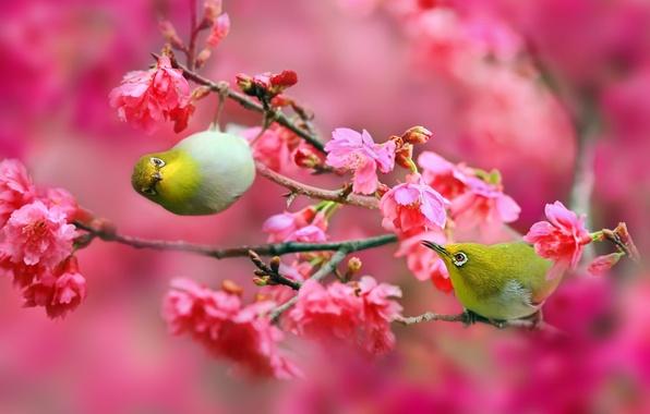 Картинка цветы, ветки, природа, вишня, сакура, Птицы, розовые, Японский белый глаз