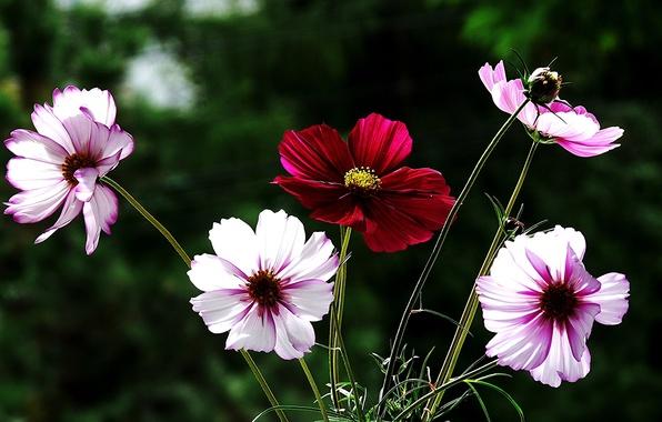 Картинка цветы, красный, фон, космея, бело-розовые