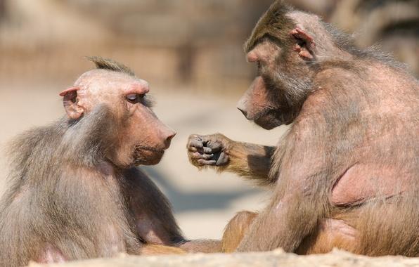 Картинка бумага, камень, игра, обезьяны, зоопарк, ножницы
