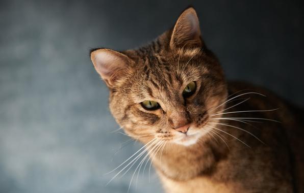 Картинка кот, усы, морда, фон