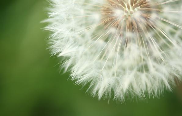 Картинка цветок, природа, фон, одуванчик, пух