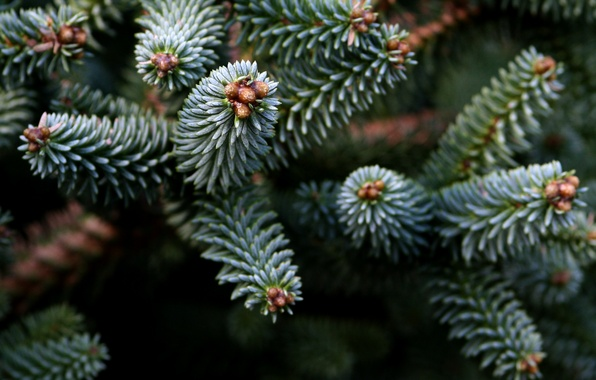 Картинка деревья, иголки, природа, ель, ветка, хвоя