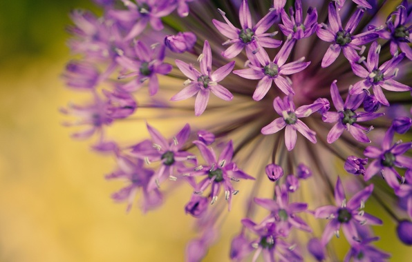 Картинка фиолетовый, макро, цветы, фон, widescreen, обои, растение, размытие, лепестки, красиво, wallpaper, цветочки, flower, широкоформатные, flowers, …