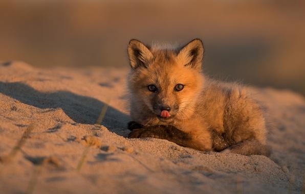 Картинка песок, малыш, лиса, детёныш, лисёнок