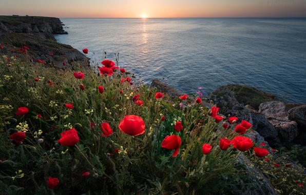Картинка море, цветы, восход, рассвет, побережье, маки, утро, Болгария, Чёрное море, Bulgaria, Black Sea, Kamen Bryag, …