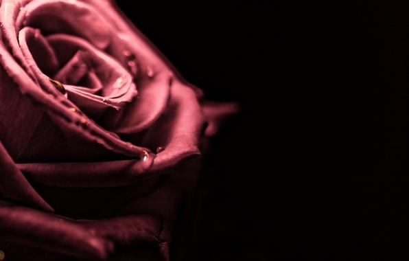 Картинка вода, капли, макро, роса, фон, widescreen, обои, розовая, черный, роза, капля, размытие, лепестки, wallpaper, широкоформатные, …