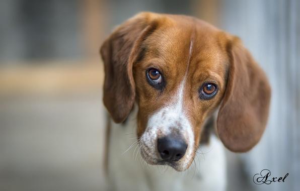 Картинка животные, взгляд, друг, собака, бигль