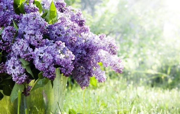 Картинка трава, цветы, ветки, природа, весна, ведро, сирень