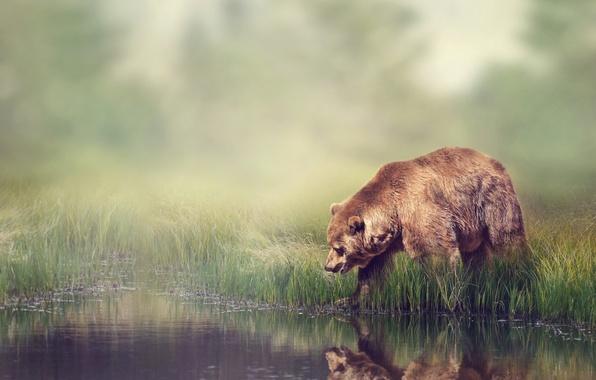 Картинка лес, трава, вода, отражение, река, камыши, фон, берег, размытие, медведь, боке, бурый