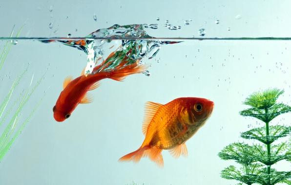 Картинка вода, макро, рыбки, аквариум, золотые рыбки