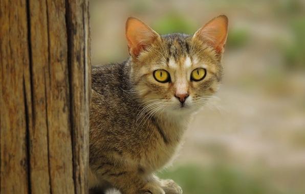 Картинка wood, eyes, cat, fur, ears