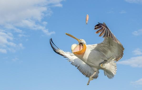 Картинка небо, птица, крылья, рыбка, пеликан
