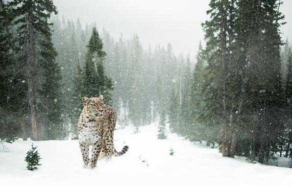 Картинка зима, лес, снег, деревья, снежинки, поляна, хищник, леопард, пятнистый