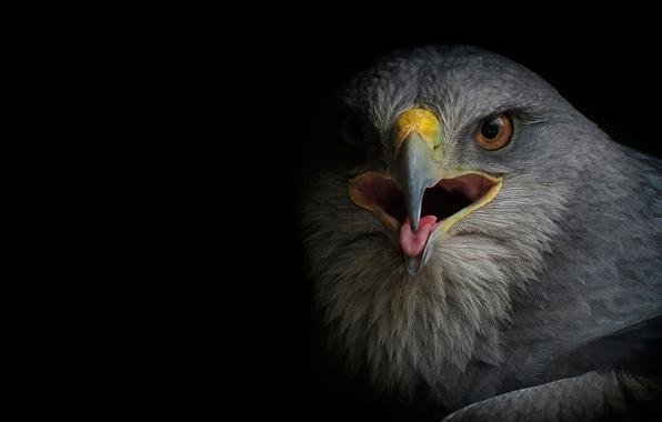 Картинка птица, хищник, сокол, канюк, сарыч