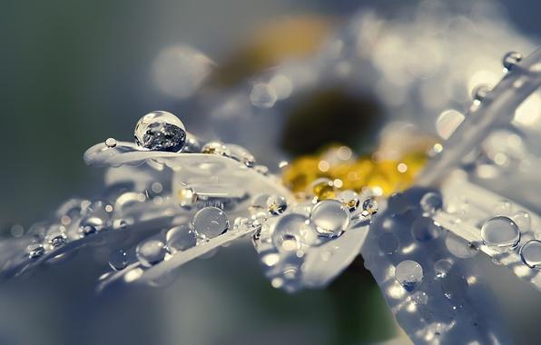 Картинка цветок, капли, макро, роса, сияние, блеск, лепестки, ромашка