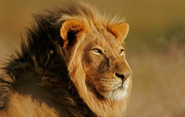 Картинка light, sun, leon, feline
