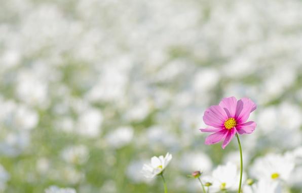 Картинка поле, цветок, макро, цветы, природа, розовый, поляна, весна, лепестки, размытость, белые, космея