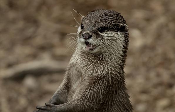 Картинка взгляд, фон, мордочка, Выдра, Otter