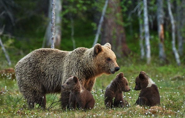 Картинка лес, лето, природа, отдых, поляна, размытость, семья, медведи, медвежата, brown, боке, медведица, bears, wallpaper., очаровательные, ...