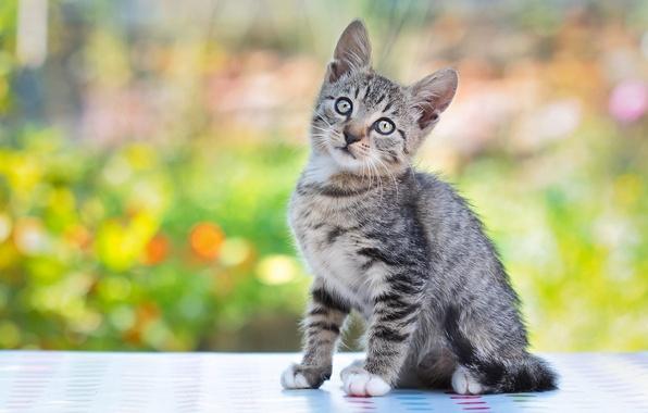 Картинка кошка, серый, котёнок