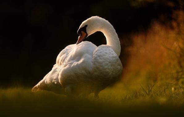 Картинка птица, лебедь, боке