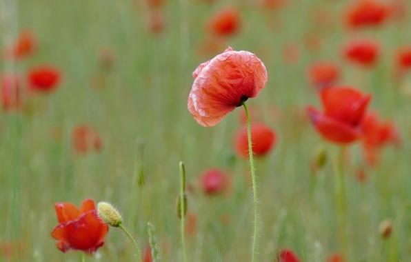 Фото обои цветы, маки, лепестки, красные