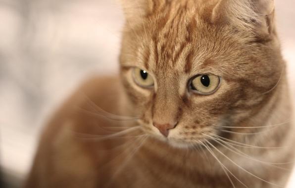 Картинка кот, взгляд, шерсть, рыжий