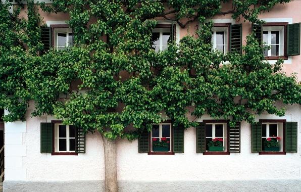 Картинка цветы, дом, дерево, улица, окна, ставни
