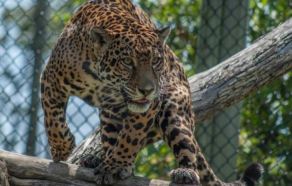 Картинка морда, свет, поза, хищник, пятна, ягуар, бревно, дикая кошка, зоопарк